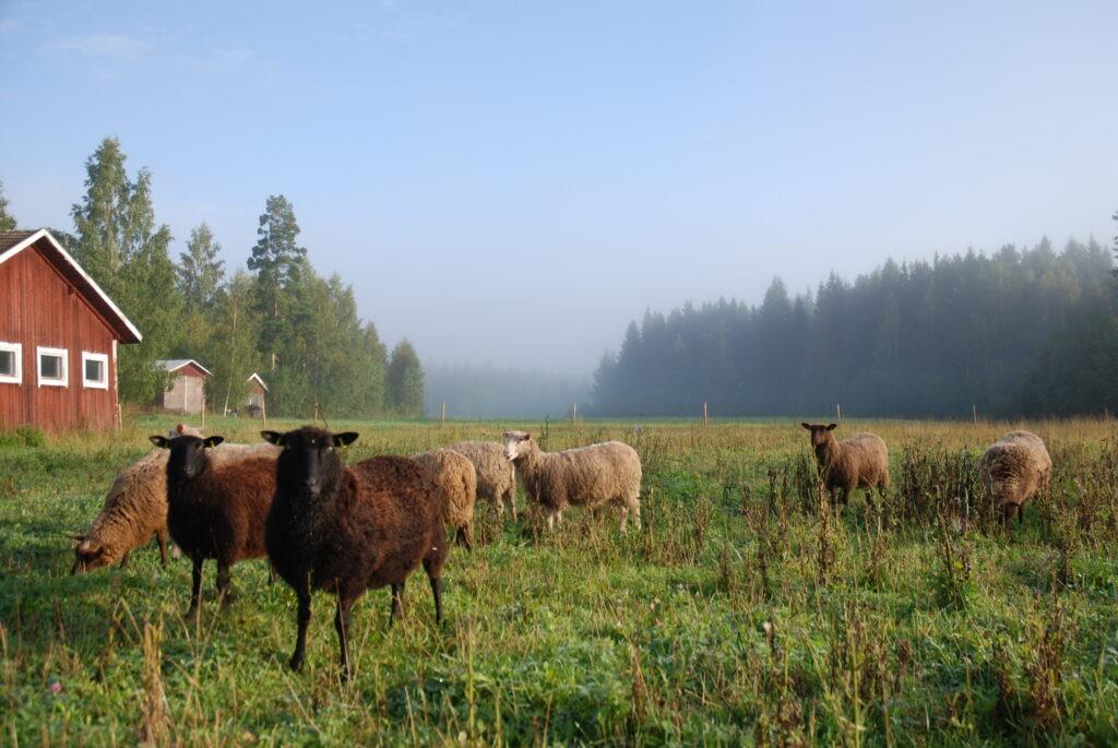 owce Finlandia